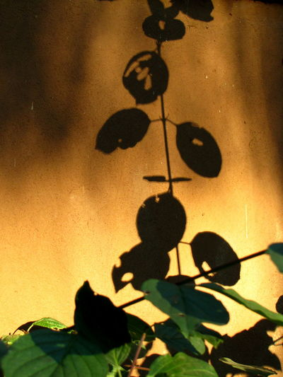 Shadow of plant on yellow wall