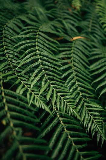 Australia Backgrounds Beauty In Nature Close-up Day Fern Foliage Full Frame Green Green Color Growth Leaf Nature No People Outdoors Travel Destinations