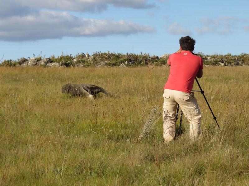 Filming a wild giant anteater Animal Themes Animals In The Wild Cerrado Filming Giant Anteater One Animal Savannah Wildlife