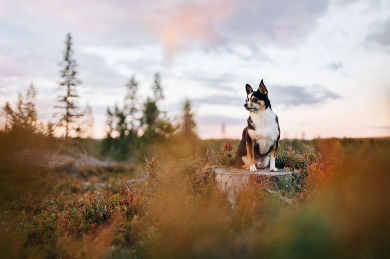 Dog looking away on sunset forest