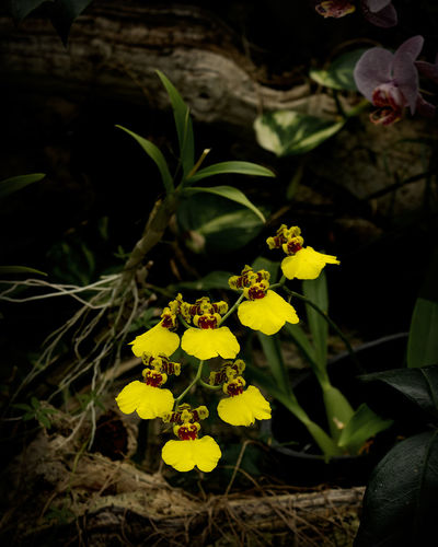 Dancing Lady Oncidium Yellow Orchid Growth Flower Freshness Close-up Fragility Botany