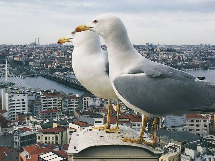 Close-up of seagull against buildings in city
