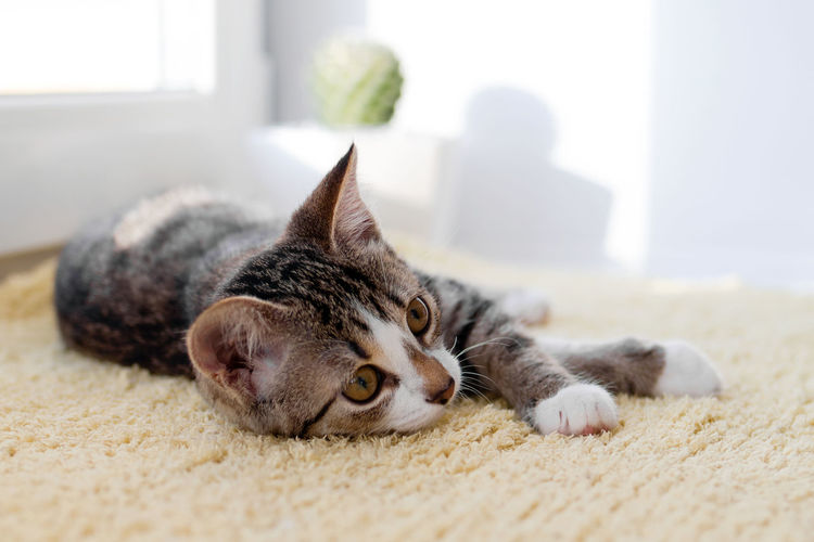 Cat resting on rug at home