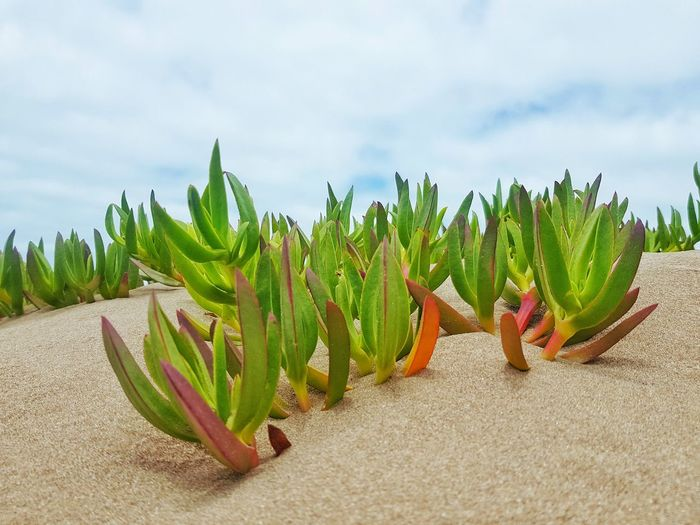 Close-up of succulent plant on beach against sky