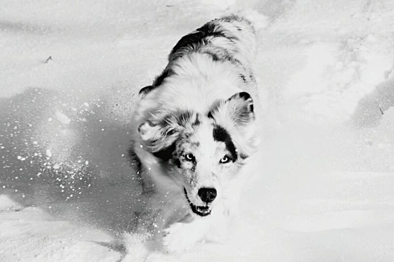 @ Snow Dog One Animal Pets Black And White Animal No People Snow Outdoors Blackandwhitephotography Snow ❄ Australianshepherd Aussies Aussie Shepherd Blackandwhite Black&white Domestic Animals
