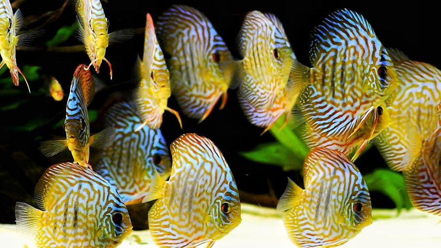 Animal Wildlife Discus Discus Fish Beauty Animal Themes Underwater Underwater Photography Black And White Nature Photography Picture Of The Day! Photography Oscar Beauty In Nature EyeEm Nature Lover Wildlifephotography Wildlife Photography Aquarium Photography Nature Fish Wildlife & Nature Visual Feast