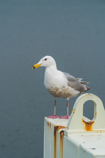 Waiting for the ferry Sony A6300 18-105mm Canada Coast To Coast British Columbia Travel Destinations Travel Seagull One Animal Sealife Bird Animal Themes Animal Vertebrate Animals In The Wild Animal Wildlife Perching Day No People Focus On Foreground Nature Sea Bird Close-up Outdoors Beak White Color Wood - Material Water Wooden Post