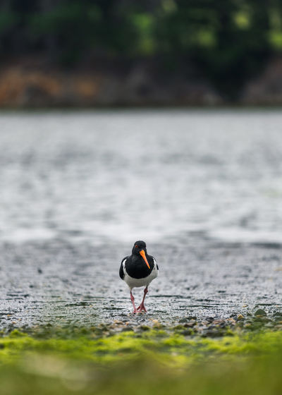 Oystercatcher bird by a lake