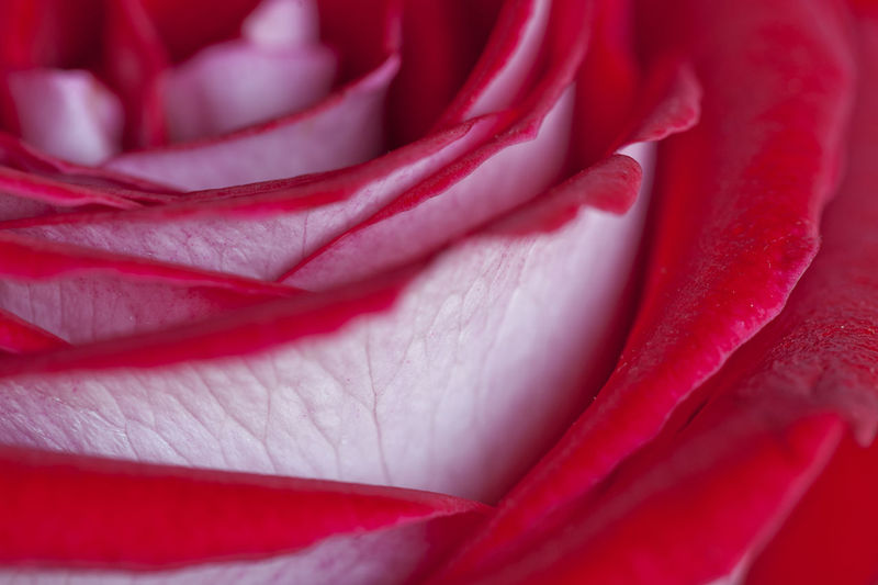 Close-up Composition Detail Elégance Flower Flower Head Focus On Foreground Fragility Freshness Holding Part Of Petal Pink Color Red Rose🌹 Selective Focus Softness Springtime
