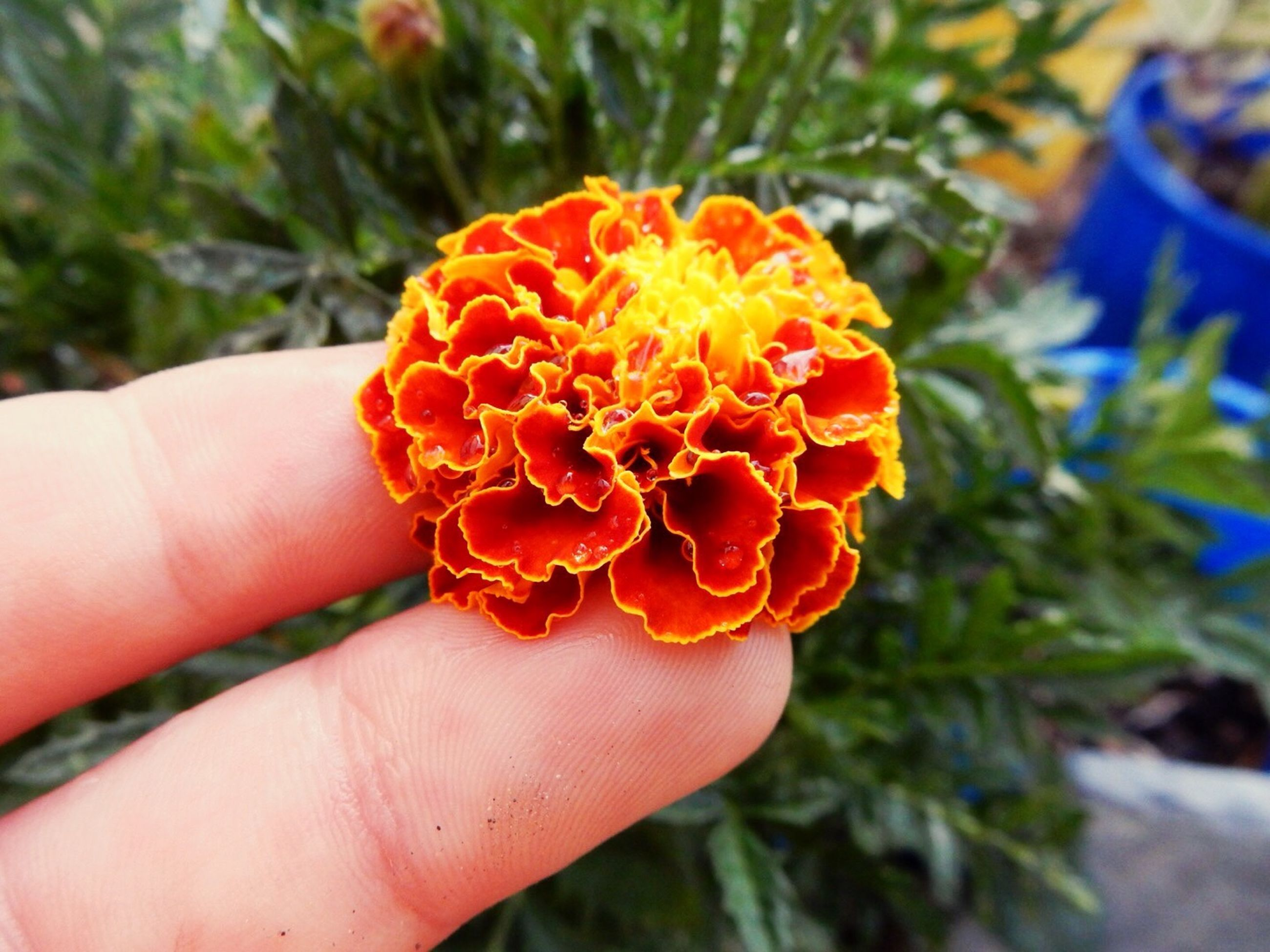person, holding, part of, human finger, cropped, focus on foreground, personal perspective, unrecognizable person, flower, freshness, close-up, fragility, petal, orange color, flower head, beauty in nature, nature