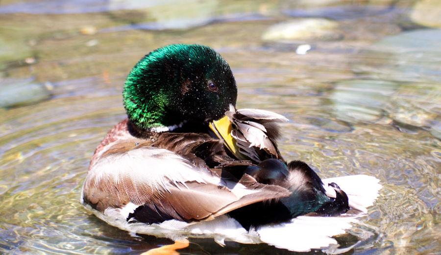 Animal Animal Themes Beak Bird Day Duck No People Swimming Water