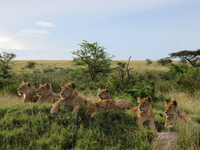 Lion Lions Gaming Kenya Safari Animals Africa Safari Animals In The Wild Animal Wildlife African Safari Mammal Predator