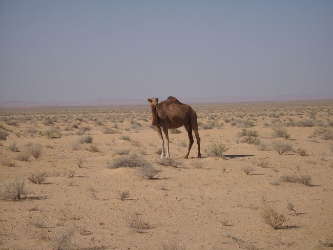 Animal Themes Animal Wildlife Animals In The Wild Beauty In Nature Day Desert Dromedary Full Length Landscape Mammal Nature No People One Animal Outdoors Sand Scenics Lonely Miles Away