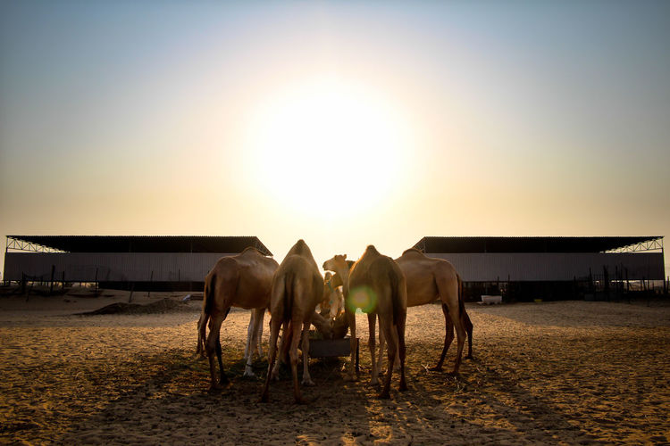 Camels standing in ranch against sky during sunset