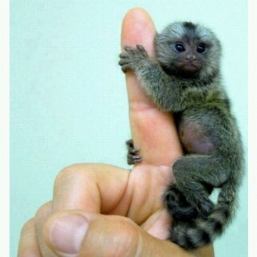 This is so cute. FingerMonkey Iwantone ILoveMonkeys
