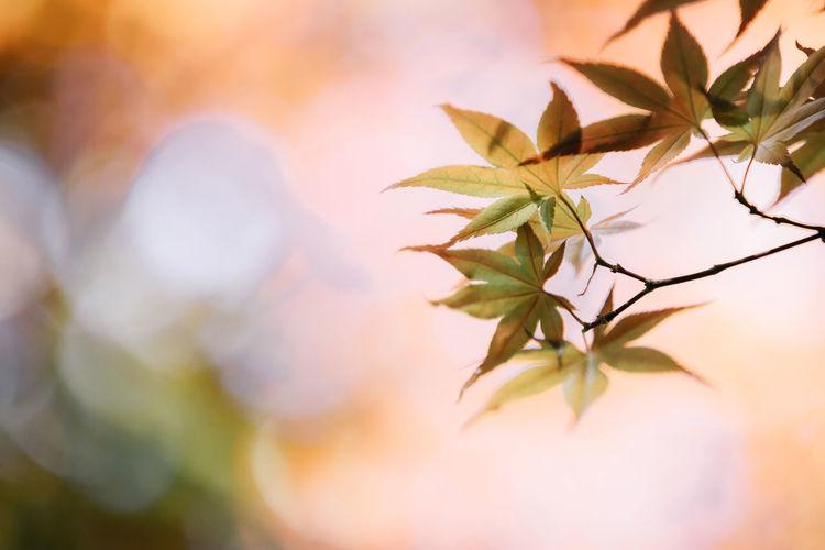 Maple Maple Leaf Maple Leaves Mapleleaf Wallpaper Wallpaper Background