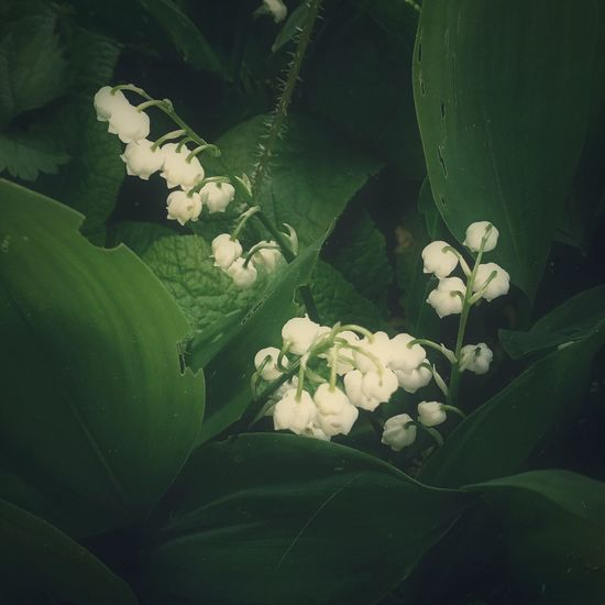 Lily of the Valley EyeEm Nature Lover Good Morning! Plants And Flowers FlowerBorn Collection