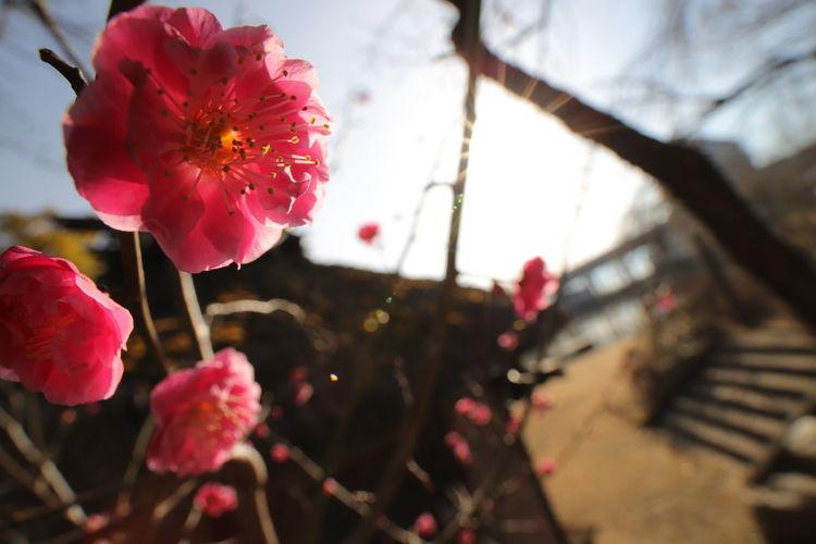 欲しかった中華なレンズ😆ピントが合えばきっと楽しい😁 Wide Macro 中華レンズ Flower Tree Flower Head Branch Springtime Red Blossom City Poppy Close-up