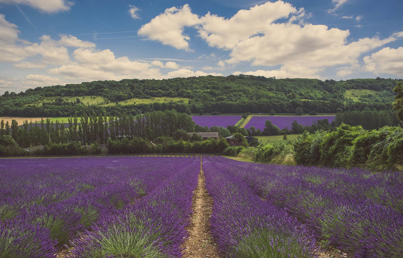 Purple Fields Beauty In Nature Countryside Farm Fujifilm Landscape Landscape_Collection Landscape_photography Lavender Outdoors Purple Relaxing Moments Scenics Shoreham Tranquil Scene Tranquility X100