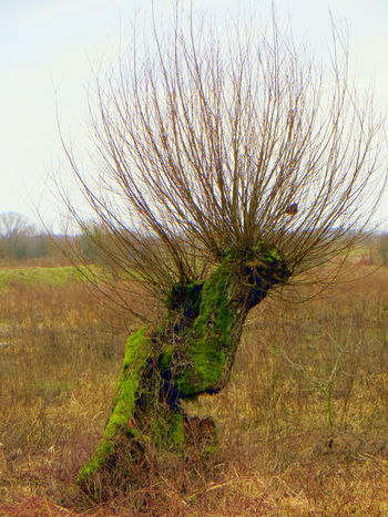 Willows, not weeping, but still standing Dutch Landscape Eye4photography  EyeEm Nature Lover Field Floodplain Floodplains Green Green Color Growing Growth Moss Moss & Lichen Moss-covered Mossy Tree Nature Nature On Your Doorstep Nature_collection No People Outdoors Plant Tranquility Willow Willow Tree Willows Winter Trees