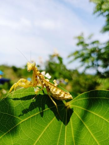 Leaf Insect Close-up Animal Themes Green Color