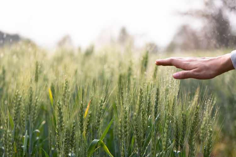 Close-up of hand touching wheat plants in farm