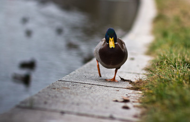 Animal Themes Bird Day Duck Forward Front View Lake Nature No People One Animal Selective Focus Step Wildlife Animal Collection