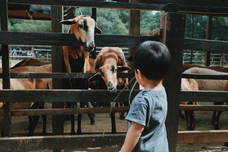 Cute boy standing by goats in farm