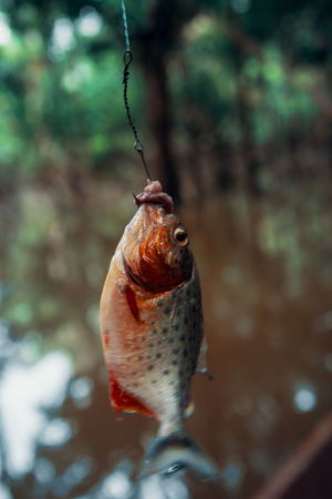 When you go Piranha fishing in the Amazon. Close-up Food And Drink South America Latin America Adventure Fishing No People Fish Animal Animal Themes Vertebrate Danger One Animal Focus On Foreground Marine Front View Animals In The Wild Selective Focus Hanging Hook Meat Outdoors Nature Animal Wildlife Freshness