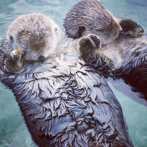 Did you know that Seaotters hold hands when they sleep? Oh, you did... Did you know that the reason is so that they don't cheat on each other every chance they get because they're so slutty? Cute Awww Happyvalentinesday truelove happytobestuckwithyou @sofsyd romanticfact
