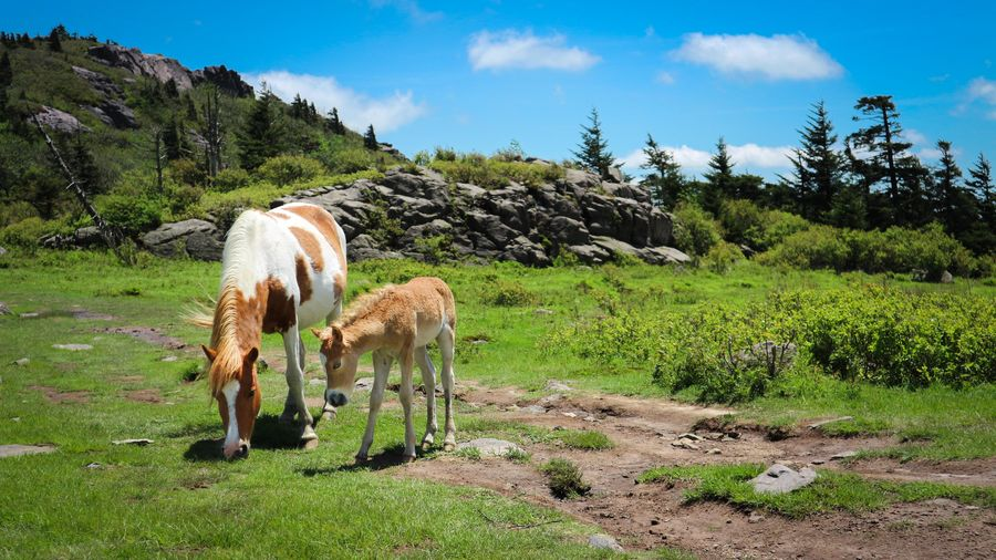 Animal Themes Beauty In Nature Cloud - Sky Day Domestic Animals Field Foal Foal With Mare Full Length Grass Grazing Green Color Livestock Mammal Mommy And Baby Horse Mountain Nature No People Outdoors Scenics Sky Standing Tree