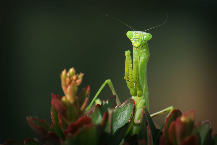 Focus On Foreground Green Color Insect Mantis Mantis Pose Mantis Religiosa Nature Outdoors