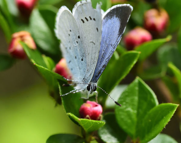 Animal Themes Animals In The Wild Beauty In Nature Butterfly - Insect Celastrina Argiolus The Great Outdoors - 2017 EyeEm Awards EyeEm Best Shots EyeEm Nature Lover Focus On Foreground Fragility Holly Blue Butterfly Insect Insect Macro  Insect Photography Insects  Macro Macro Beauty Macro Photography Macro_collection Nature Nature Nature_collection Wildlife Wildlife & Nature Wildlife Photography