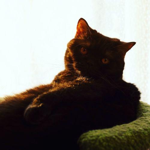 My love chocolate is melting in the sun. 😸😆 Britishshorthair Oliver Cat Mycat British Home оливер риф кот люблюкота британец шоколад солнце Sun