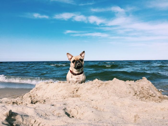 Frenchbulldog Beach Sandcastles Pug Beachdog Seaside