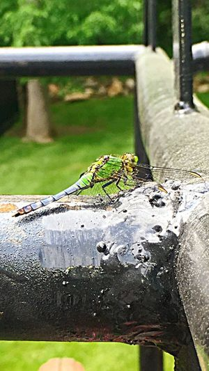 Dragonfly Colorfulinsect BrightGreen Natures Diversities