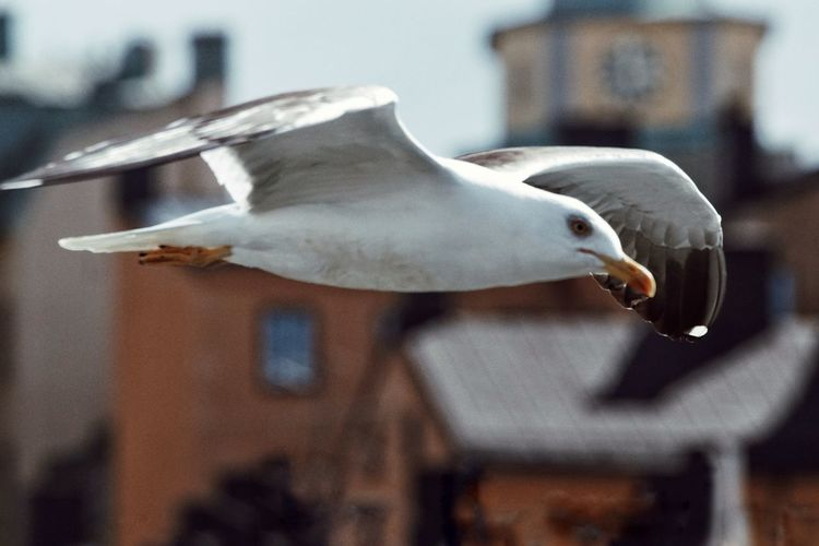Close-up of seagull flying in city