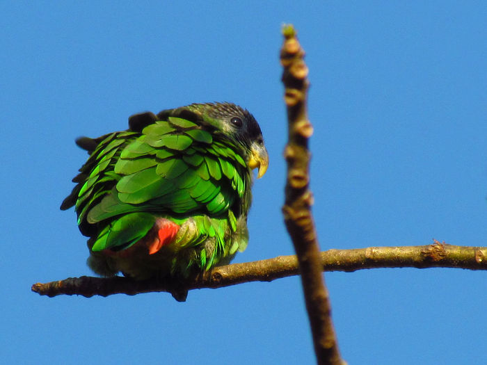 Animal Animal Head  Animal Markings Animal Themes Avian Beauty In Nature Bird Bird Photography Birdwatching Blue Branches Cross Green Green Green Bird Green Color Multi Colored Natural Pattern Nature Parrot Parrot Lover Perched Perching Sky Wildlife