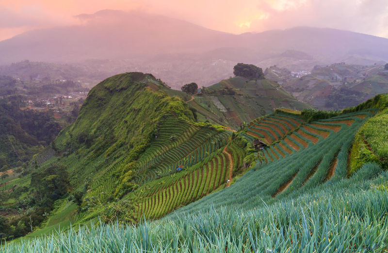 Pinky Morning in Panyaweuyan Terrace at Majalengka, Indonesia looks very wonderfull Nature_collection Terrace Terraced Field Mountain Hill Hills And Valleys Farmland Farm INDONESIA Wonderful Indonesia Beauty In Nature Wallpaper Pattern Saturated Color Colorful Colors Mood Morning Morning Light Majalengka