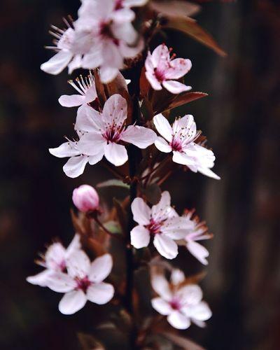Flower Head Flower Tree Springtime Pink Color Petal Plum Blossom Blossom White Color Stamen