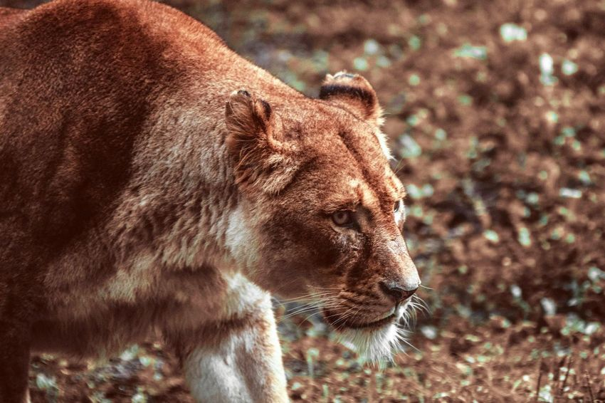 EyeEm Selects Nature Portrait Outdoors Nature Photography Close-up Animal Photography Animals In The Wild Lion Animal Head  Outdoor Photography Animal Themes One Animal Animal Wildlife Wild Naturelovers The Week On EyeEm