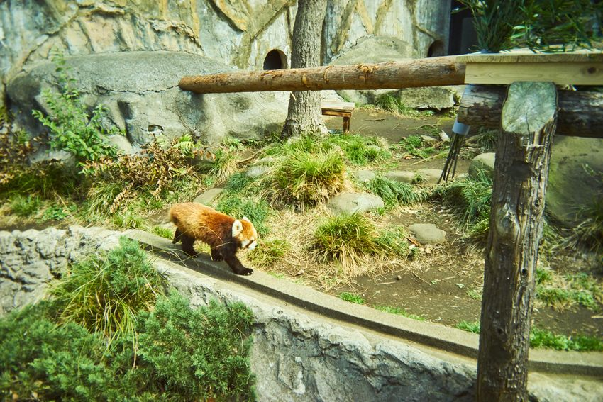 Gizmon Zoo Animal Lesser Panda Animal Themes One Animal Day Mammal No People Animals In The Wild Outdoors Nature