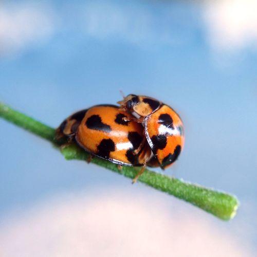 Ladybirds! Taken with iPhone 5 and Olloclip macro lens. Olloclipp Ladybirdss Ladybugss Macro