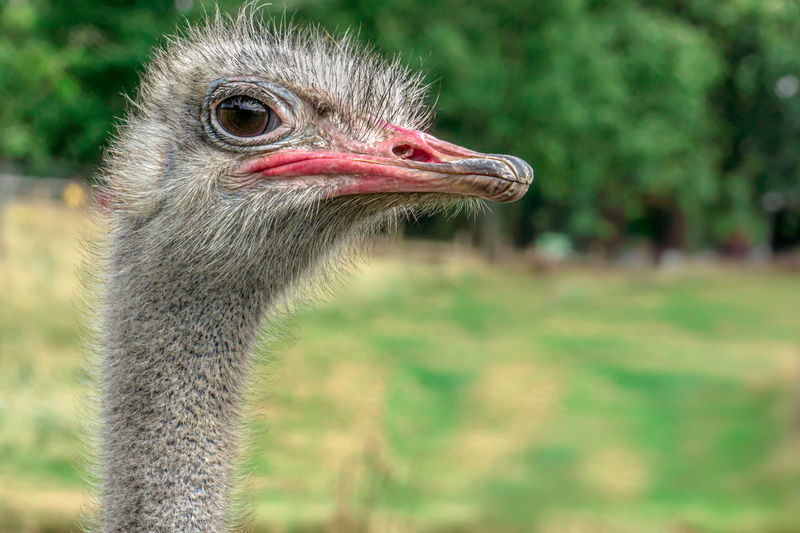 Close-up of an ostrich bird looking away