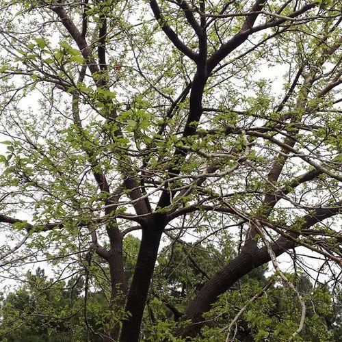 درخت توت دانشکده معماری دانشگاه_ملی