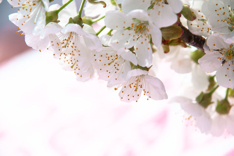 cherry blossom Cherry Blossom Cherry Blossoms EyeEmNewHere Nature Nikon Tree Beauty In Nature Cherry Tree Close-up Flower Flowering Plant Flowers Fragility Freshness Growth Macro Nature_collection Nikonphotography No People Plant Spring Spring Flowers Springtime