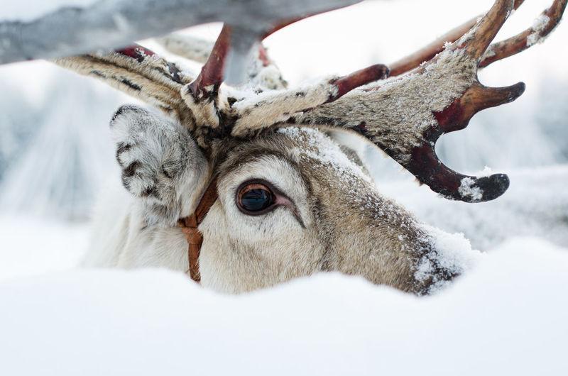 Close-up of reindeer