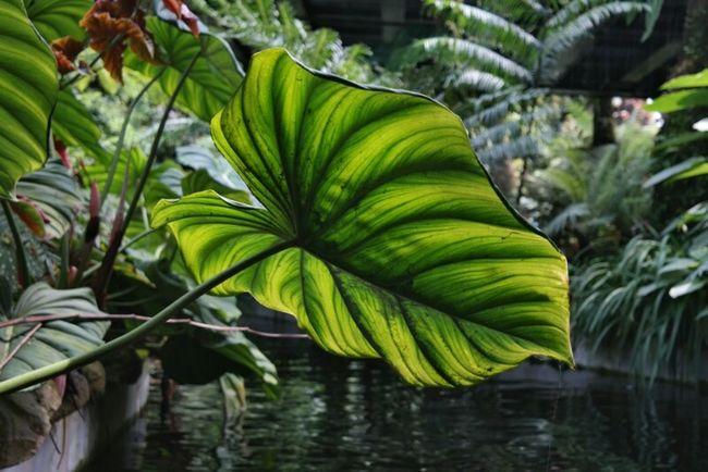 Leafmania Leaf Green Leaf Flora Fauna Eyeem Fauna Fauna Green Things That Are Green Plant Life Tropical Plants