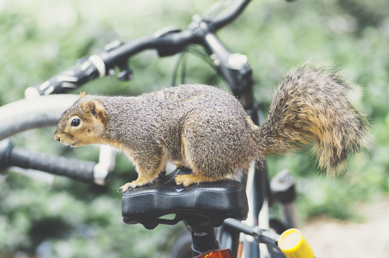 squirrel on a bike Squirrel Animal Themes Animals In The Wild Close-up Day Focus On Foreground Mammal Nature No People One Animal Outdoors Squirrel Squirrel Closeup Squirrel On A Bike EyeEm Ready