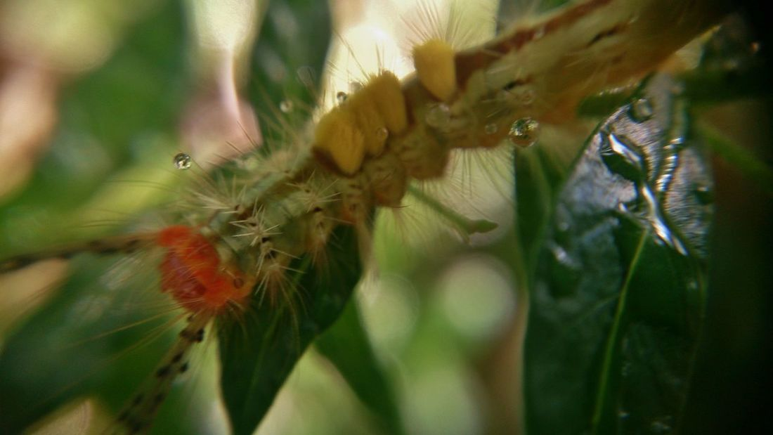 the hairy and wet catterpillar #catterpillar #insects #MacroShot Botany Close-up Nature No People Selective Focus